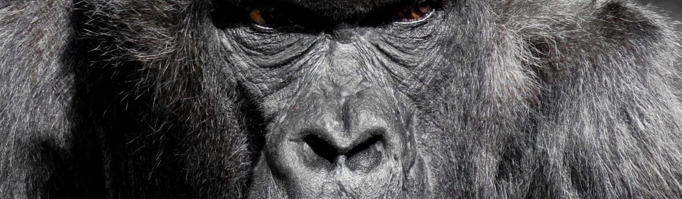 gorilla, ape, zoo