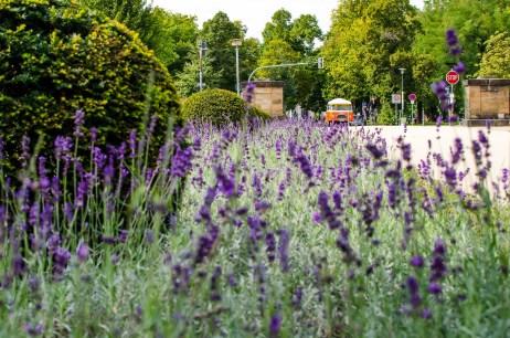 Foto von Lavendel und einem alten Bus im Großen Garten in Dresden fotografiert.