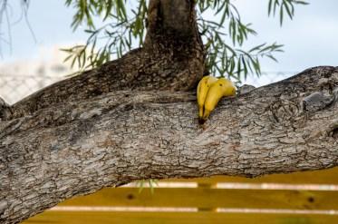 Foto eines Olivenbaumes mit zwei Bananen auf einem Ast.