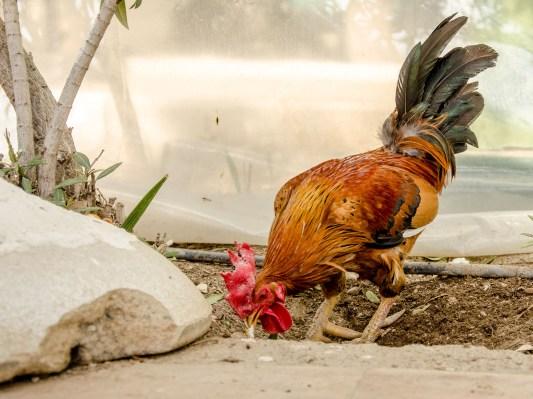 Foto von einem Hahn in einem Park.