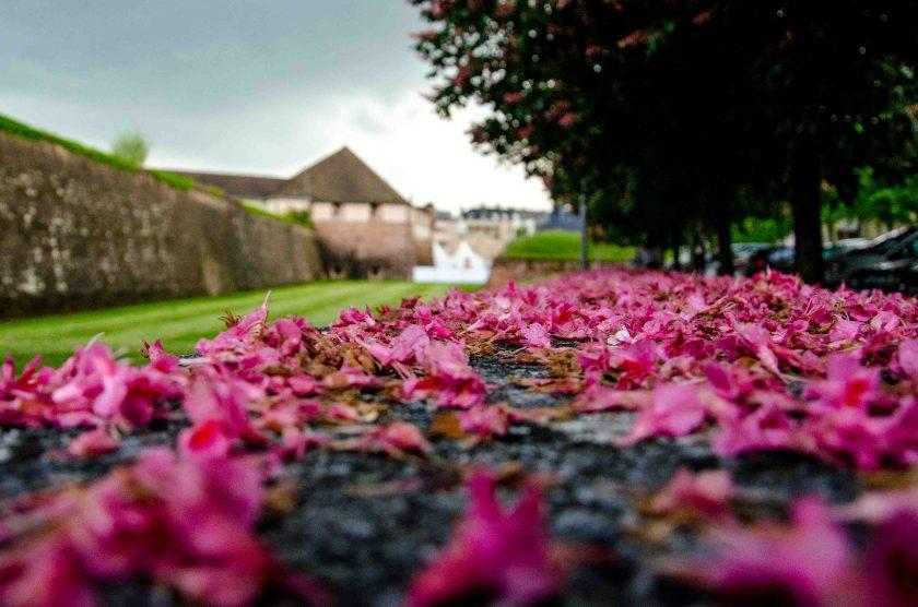 Rosa Kastanienblüten bei der Zitadelle.