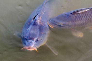 karpų žvejyba