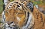 Tiger – Lisa-Marie Wagner