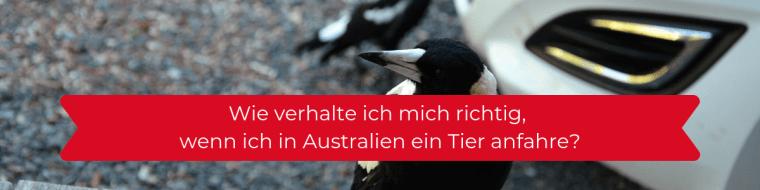 In Australien kann jederzeit ein Tier vors Auto laufen. Besonders bei einbrechender Dunkelheit oder in der Morgendämmerung ist das eine Gefahr. Wie geht man richtig vor, wenn man ein Tier an- oder überfahren hat?