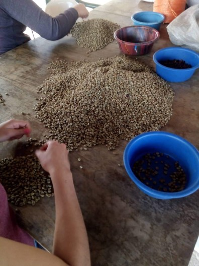 hand sorting beans