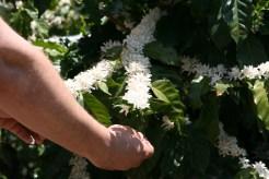 Caturra plant