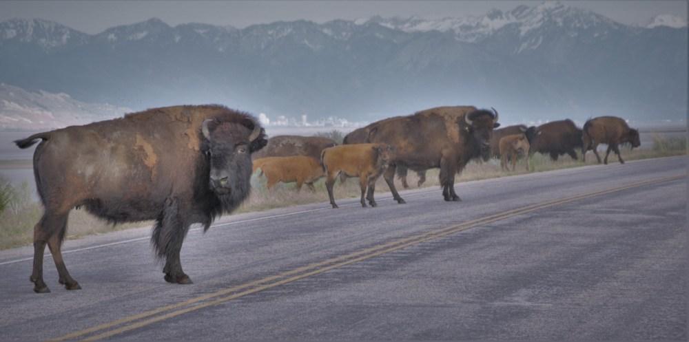 Buffalo Watching