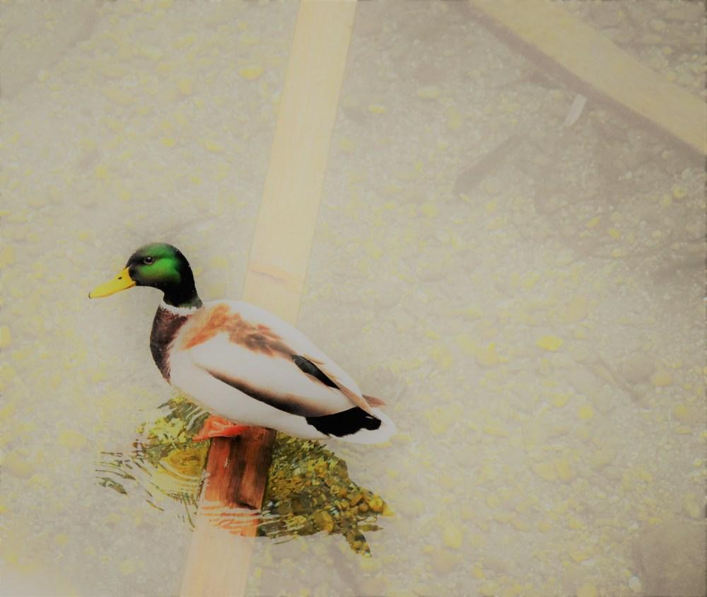 Quack.   © Silvia Springer