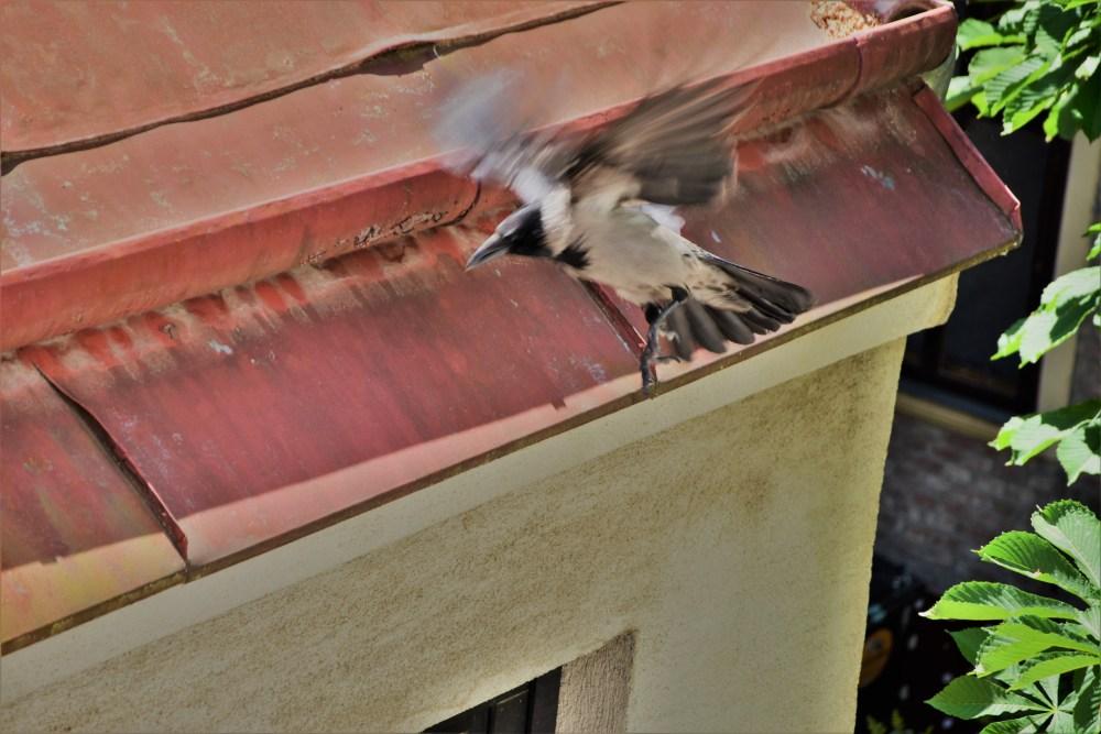 Krähe im Flug © Silvia Springer