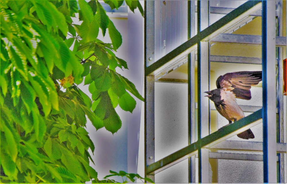 Nebelkrähe  © Silvia Springer