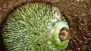 African Breadfruit