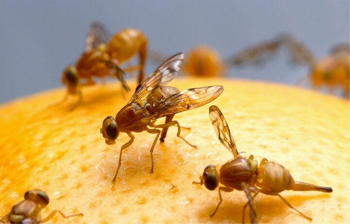 mosca fruta