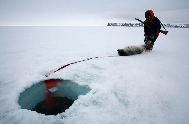 sangre de foca