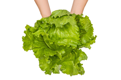 Morning collecting fresh lettuce