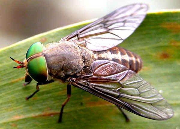 Những loài ruồi phổ biến tại Việt Nam, đặc điểm và nhận dạng