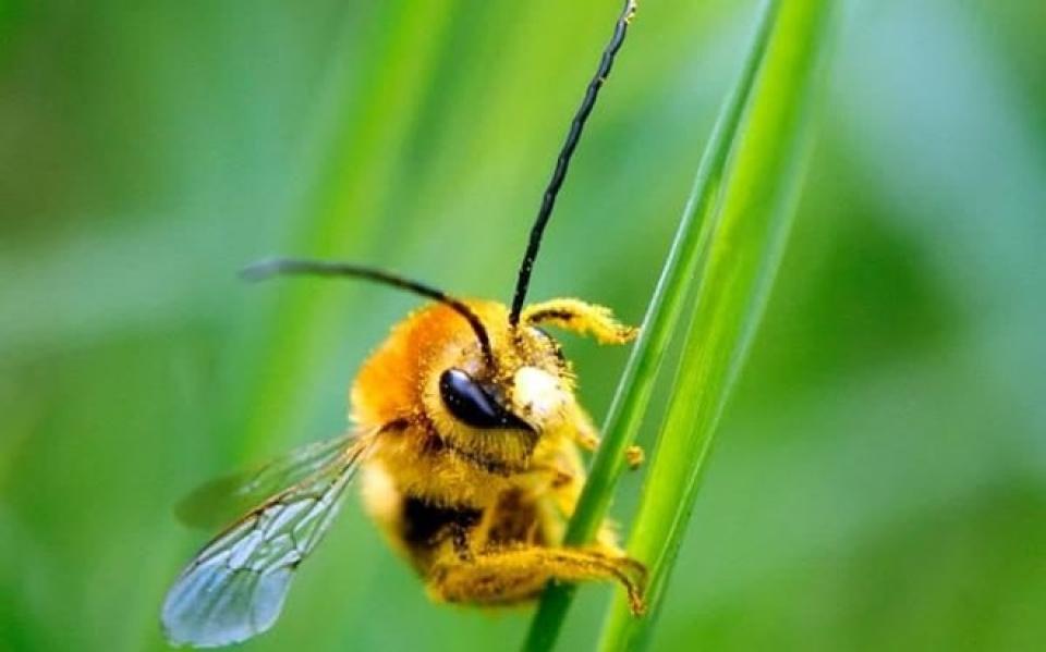 Tìm hiểu về ong nghệ (chi Bombus)