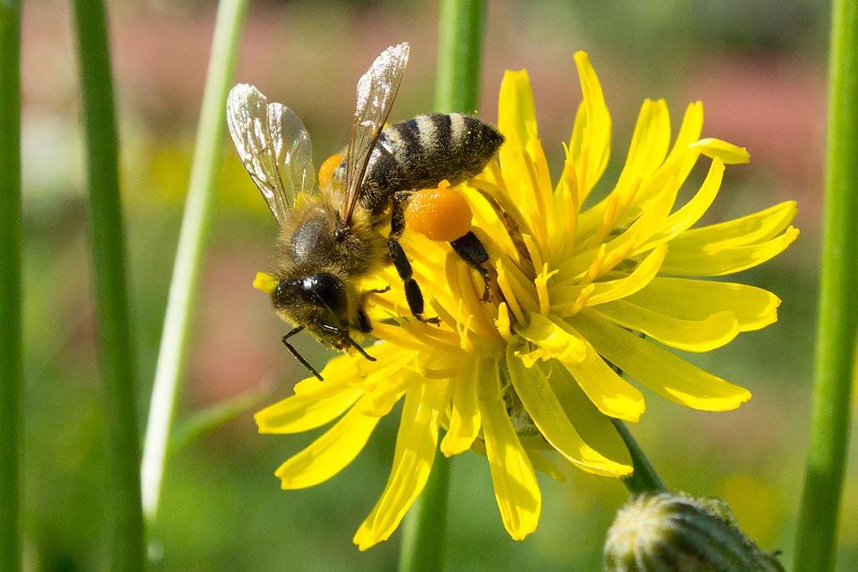 Ong mật (Apidae)