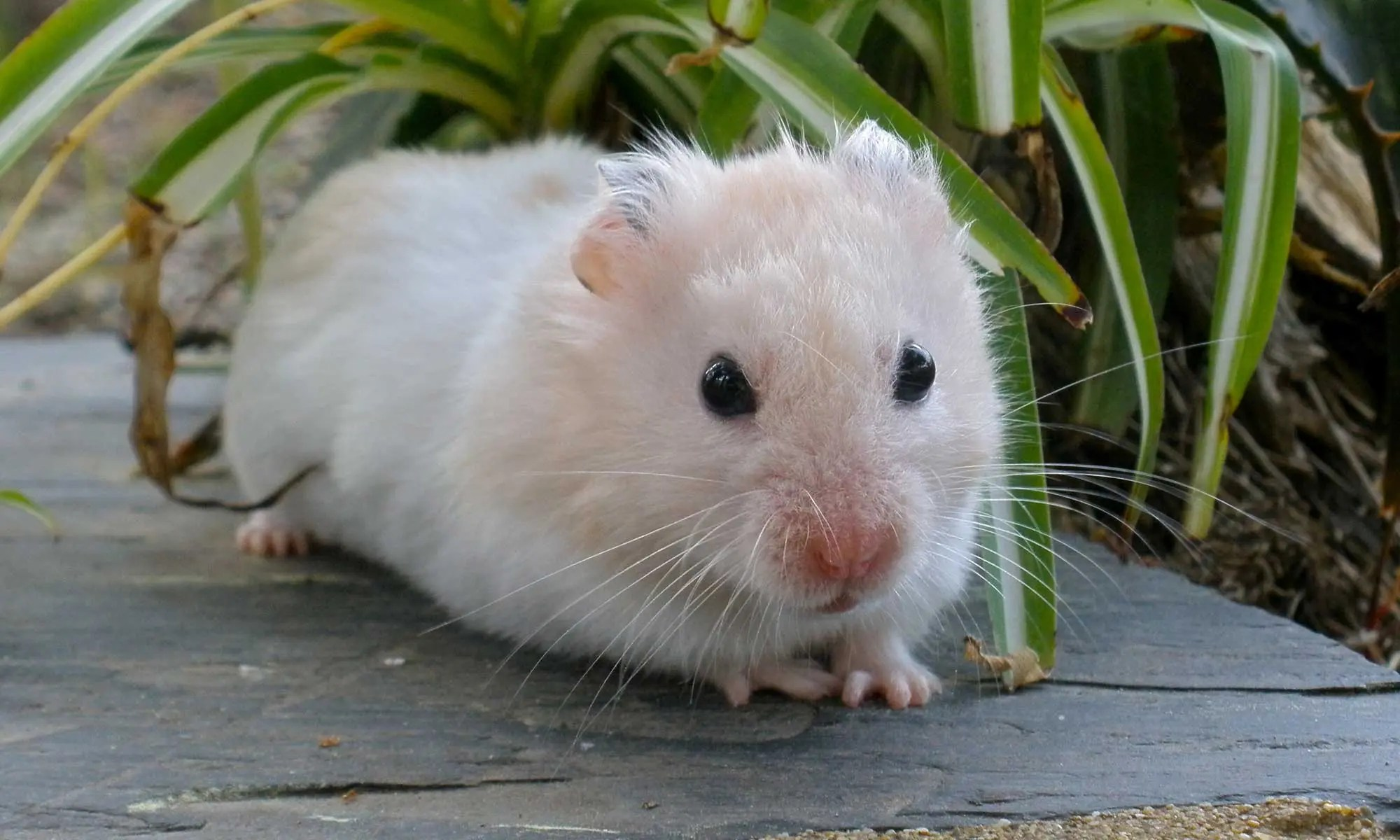image of hamster