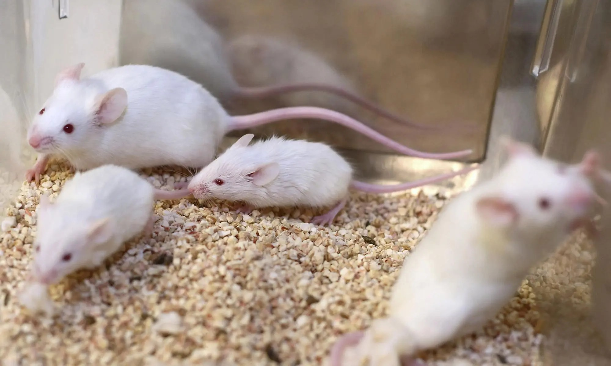 image of mice-experiments