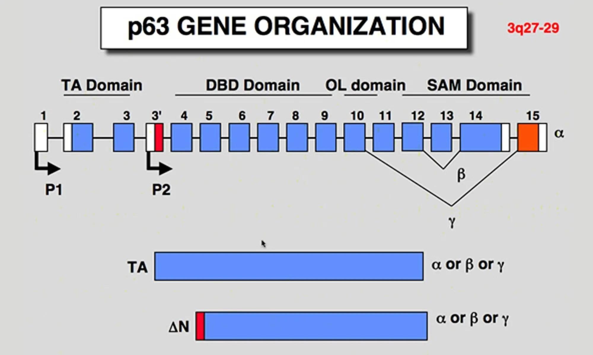 image of p63 gene