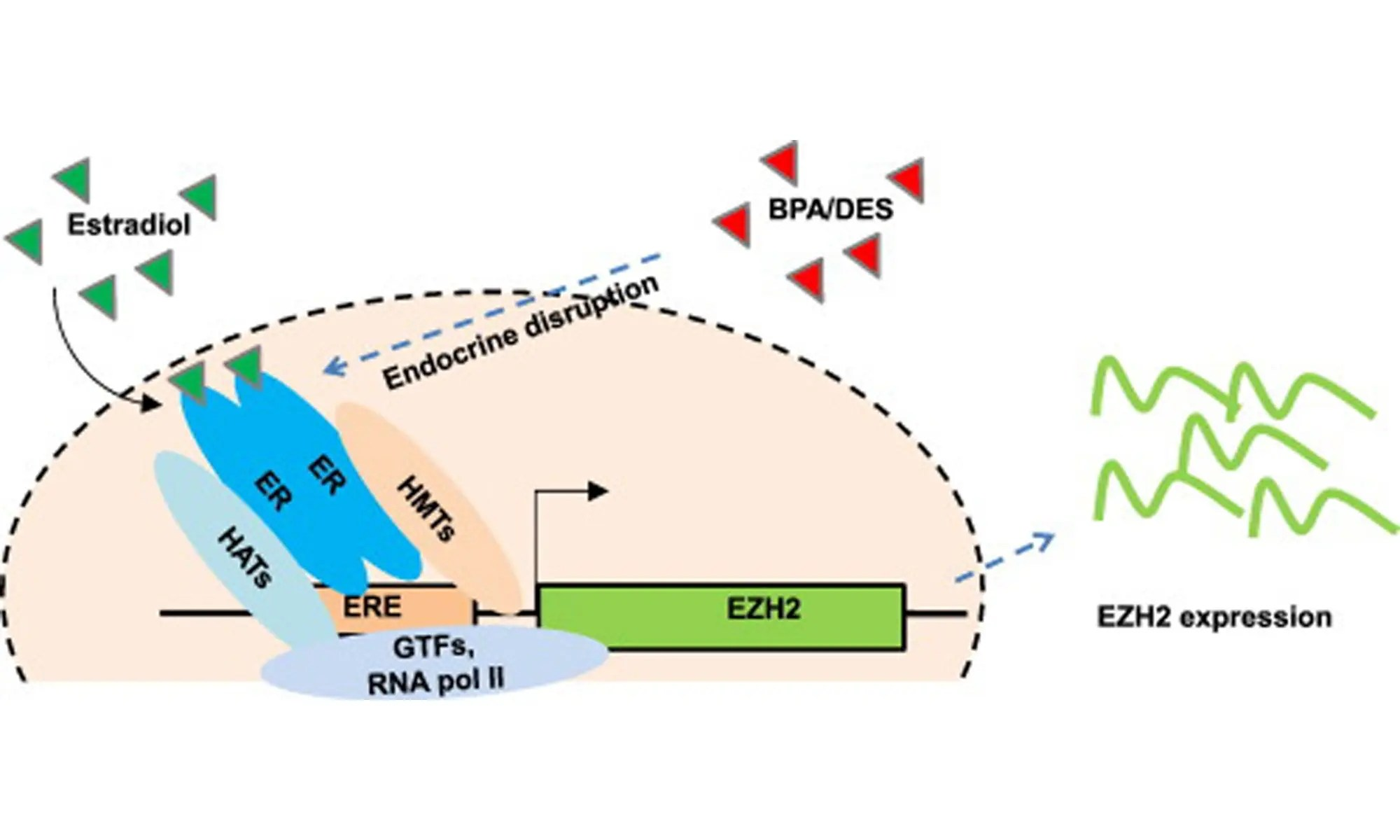 image of EZH2 Expression