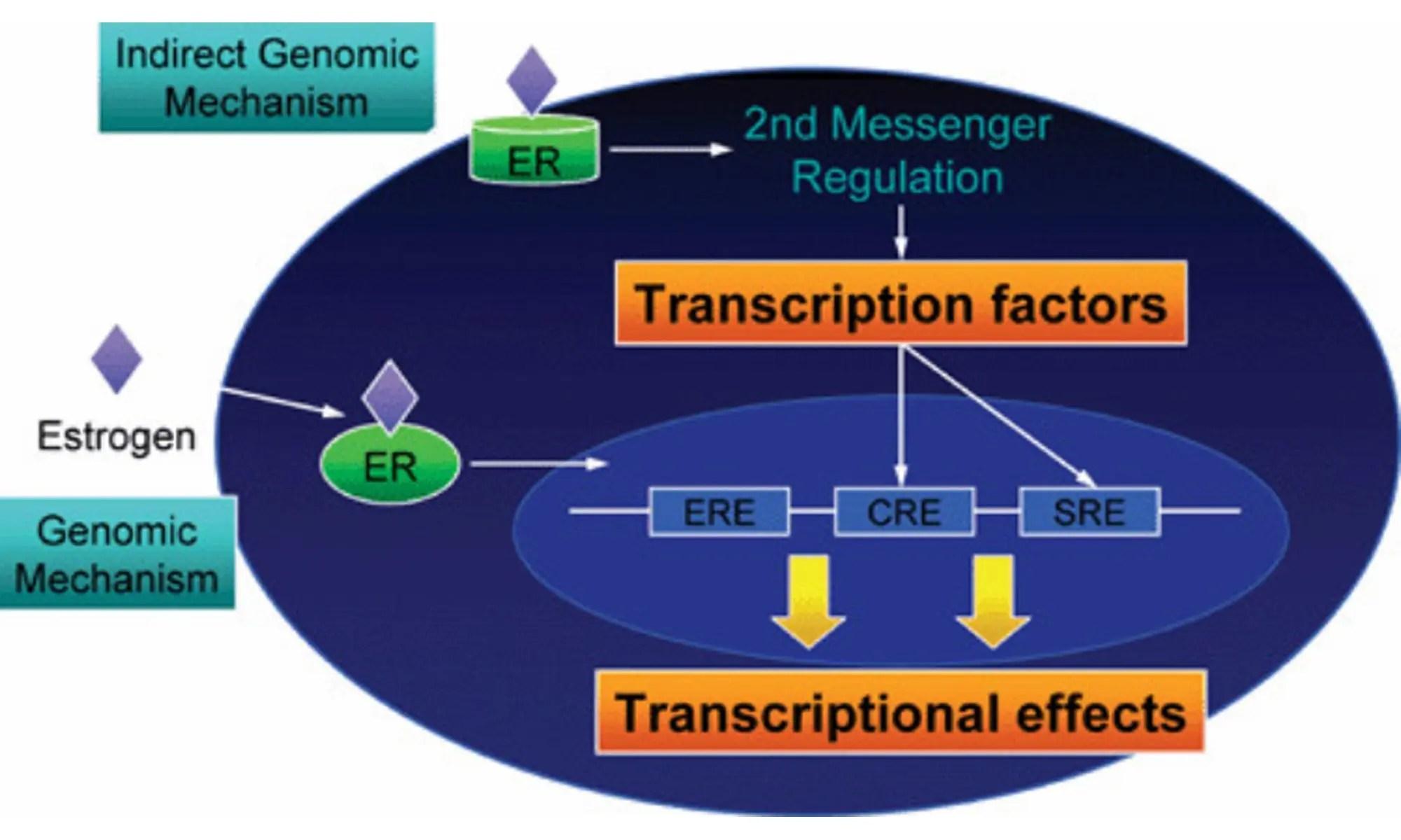 Estrogen receptor stereochemistry: receptor binding and hormonal responses