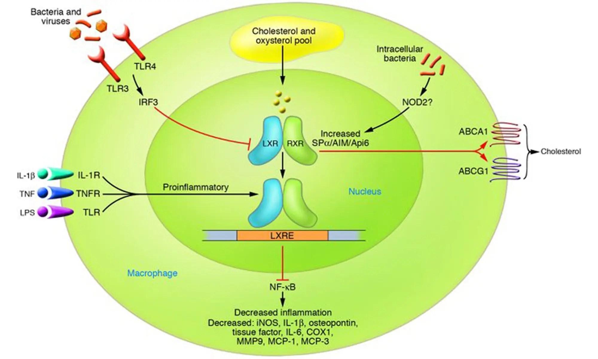 image of Liver X receptors