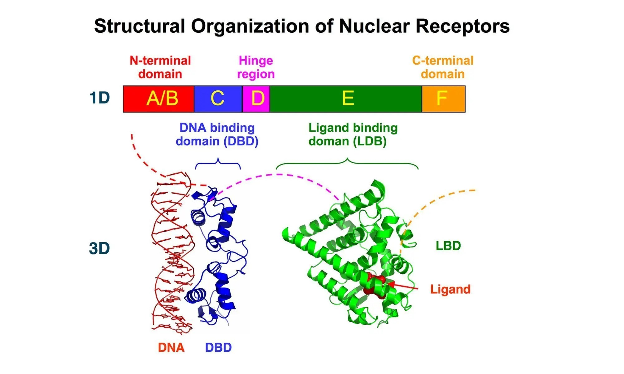 image of Nuclear Receptors