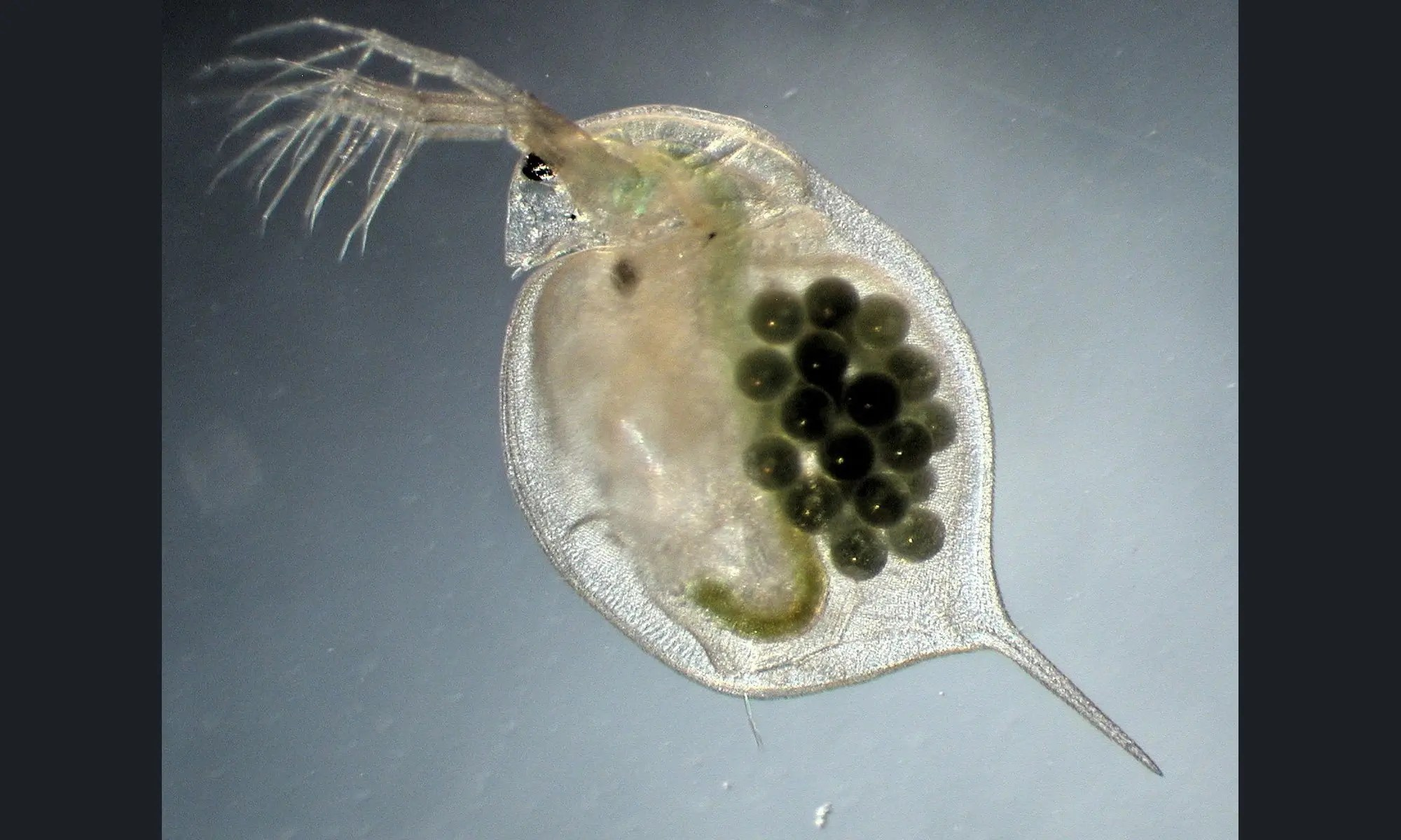 DES multi-generational effects on Daphnia magna