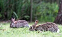 Action of steroid sex hormones on the isolated rabbit heart