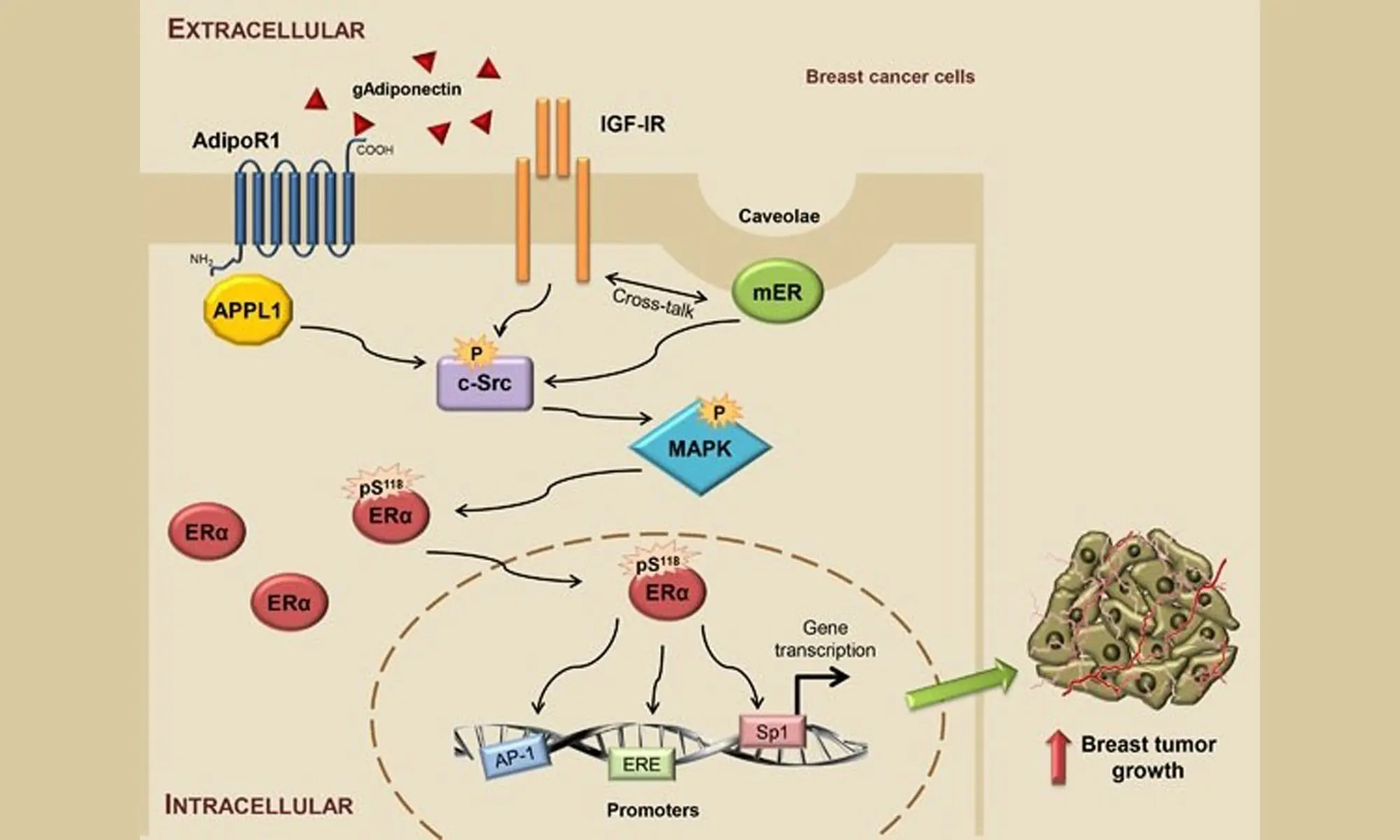 ERα's role in DES-induced breast cancer cell proliferation
