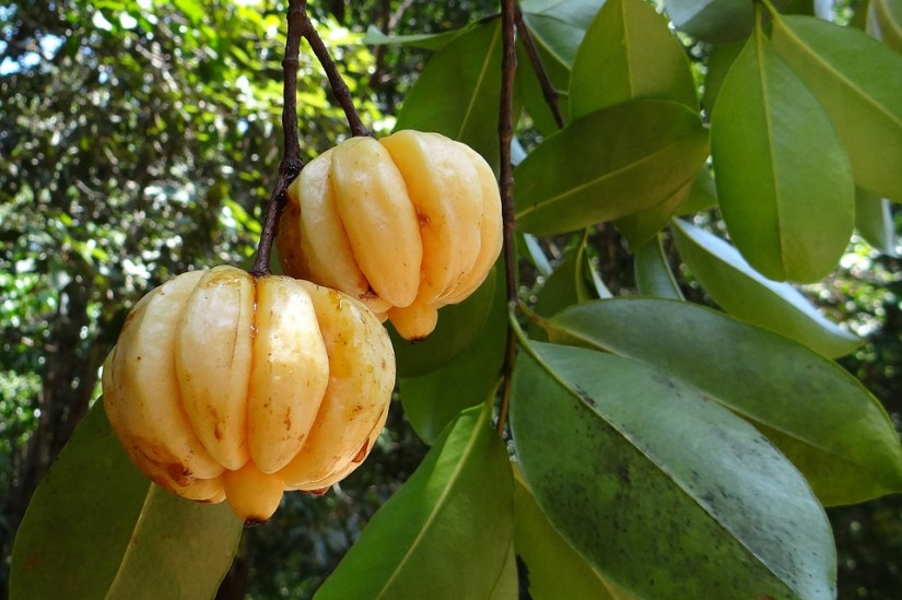 Why People Use Garcinia Cambogia to Lose Weight