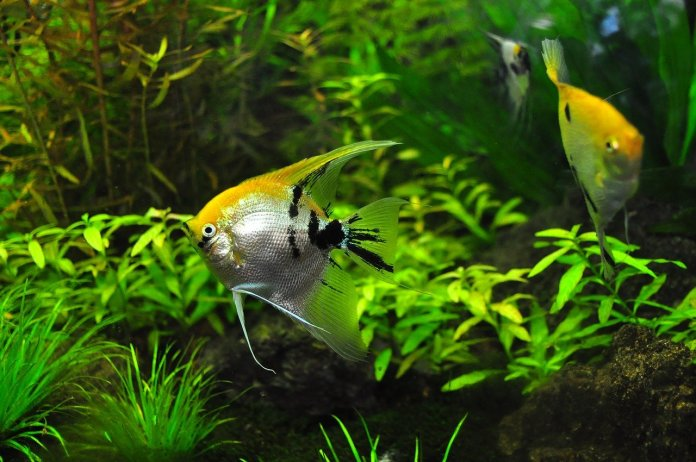 How to get rid of brown algae in freshwater fish tank