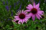 Sonnehut-Lavendel