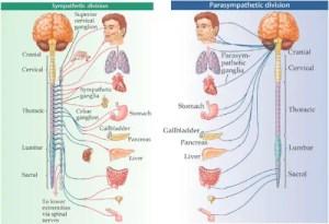 Somatic vs Autonomic Nervous System  Difference