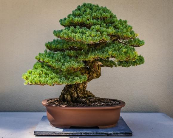 Bonsai art - tree and landscape design