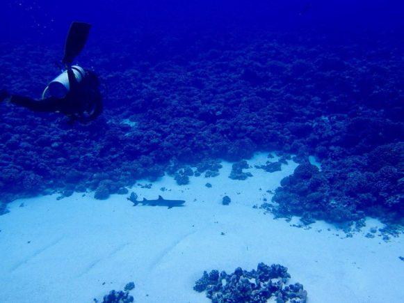 Une plongeuse arrive sur le mur de requins de Fakarava.