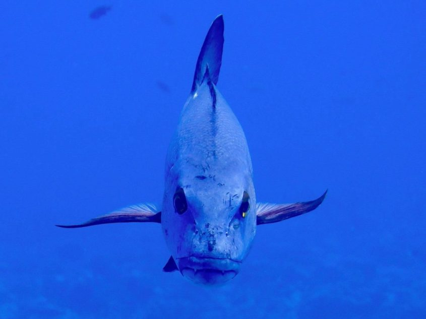 Un gros poisson regarde l'objectif