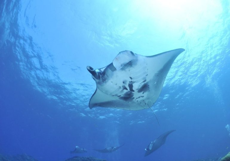 Diving with the manta rays in Tobago