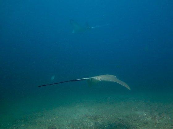 Deux raies se croisent lors d'une plongée au Costa Rica