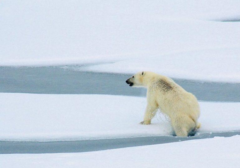Un ours blanc sur la banquise en Arctique