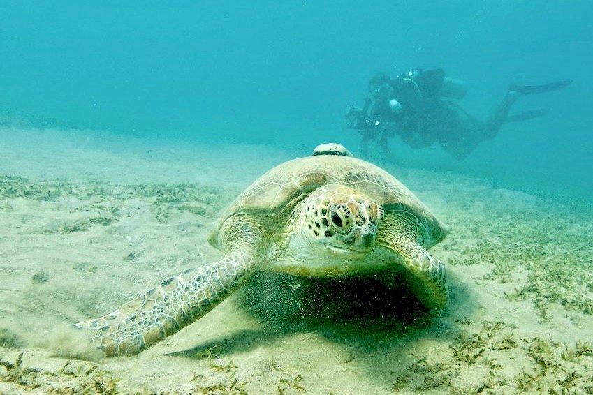 Une tortue devant un plongeur au loin