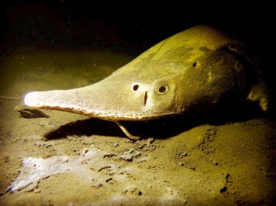 Un esturgeon dans un lac en plongée de nuit