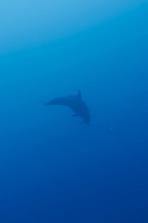 En allant plonger à Elphinstone on aperçoit un dauphin au loin dans la mer