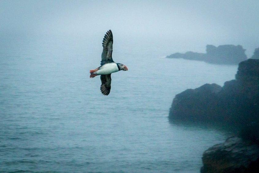 Un macareux en plein vol à observer lors de votre voyage plongée en Islande