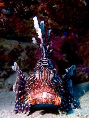 Avec un peu de chance en plongée, vous pourrez croiser ce magnifique poisson lion