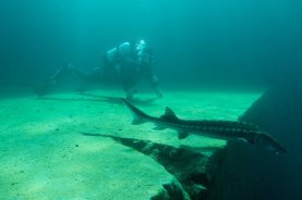 Une plongeuse regarde s'éloigner un esturgeon