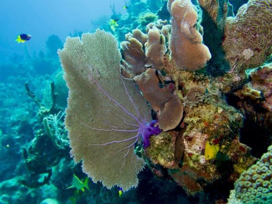 Plonger en Jamaïque permet d'admirer les coraux