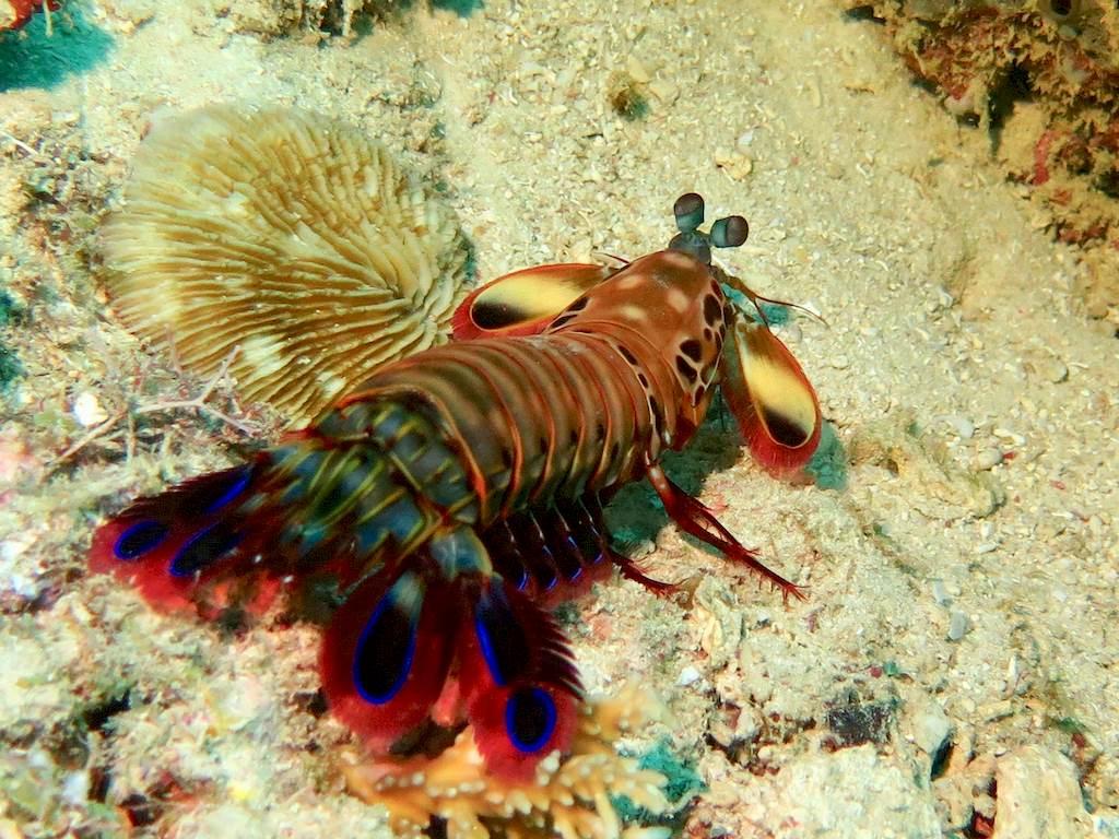 La squille multicolore est jolie à observer... ne pas s'approcher