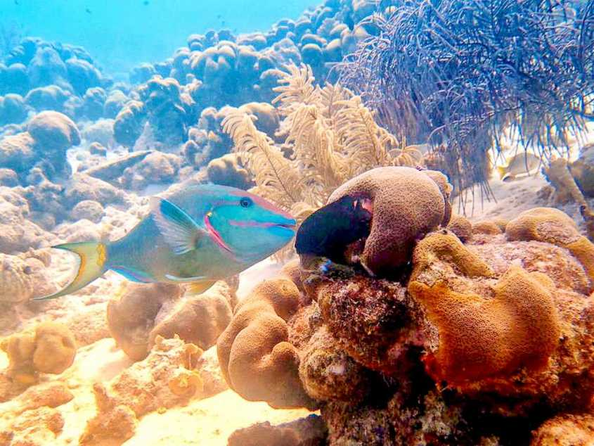 Un poisson perroquet à Bonaire